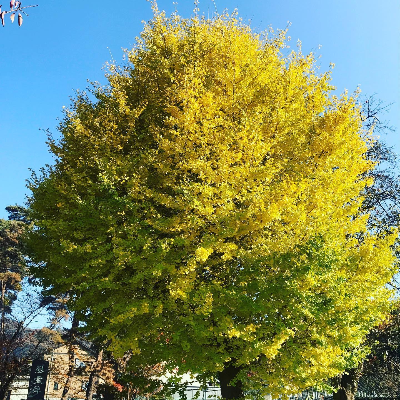 ご近所の銀杏の木いい色になってきました️今日の青空に映える〜❣️